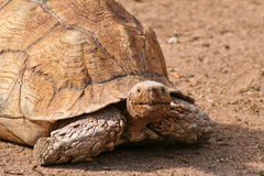 Riesige Schildkröte Stockfotos