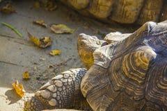 Riesige Schildkröte Lizenzfreies Stockbild