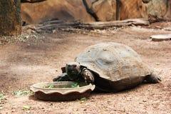 Riesige Schildkröte Stockfoto