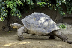 Riesige Schildkröte Stockbilder