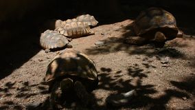 Riesige Schildkröte Aldabr oder Seychellen am Dusit-Zoo- oder Khao-Lärm Wana-Park in Bangkok, Thailand stock video