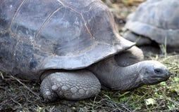 Riesige Schildkröte Aldabra Lizenzfreie Stockfotografie