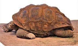 Riesige Schildkröte Aldabra, Phoenix-Zoo, Arizona-Mitte für Erhaltung der Natur, Phoenix, Arizona, Vereinigte Staaten stockbild