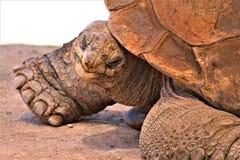 Riesige Schildkröte Aldabra, Phoenix-Zoo, Arizona-Mitte für Erhaltung der Natur, Phoenix, Arizona, Vereinigte Staaten stockfoto