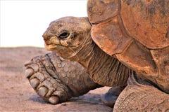 Riesige Schildkröte Aldabra, Phoenix-Zoo, Arizona-Mitte für Erhaltung der Natur, Phoenix, Arizona, Vereinigte Staaten lizenzfreies stockfoto