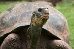 Riesige Schildkröte, die Gras isst stockbild