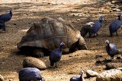 Riesige Schildkröte mit Vögeln herum Stockbild