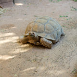 Riesige Schildkröten lizenzfreies stockbild