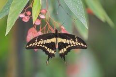 Riesige Swallowtail Basisrecheneinheit (Papilio cresphontes) stockfotos