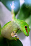 Riesige TagesGecko Phelsuma madagascariensis grandis Lizenzfreies Stockbild