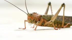 Riesige tropische Heuschrecke stock video