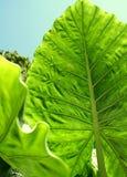 Riesige Wasserbrotwurzel-Blätter Stockfoto