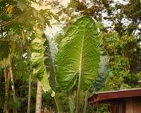 Riesige Wasserbrotwurzel-Blätter Stockbilder