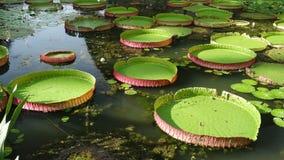 Riesige Wasserlilie Lizenzfreie Stockfotos