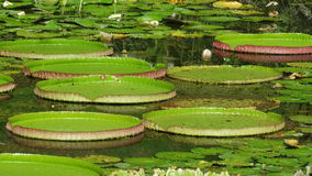 Riesige Wasserlilie Lizenzfreie Stockbilder
