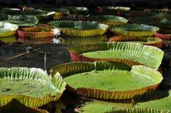Riesige waterlilies bei Sir Seewoosagur Ramgoolam Botanical Garden Stockfotos