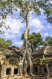 Riesige Wurzeln des entsprungenen Baums Stockbild