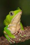Riesiger Affe-Frosch Stockfotografie