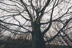 Riesiger alter Baum mit großen Niederlassungen im Herbst nach dem Fall in mysteriösen Märchenwald Lizenzfreie Stockbilder