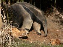 Riesiger Anteater Stockbild