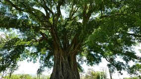 Riesiger Bantambaum Balete-Baum stock video footage