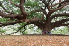Riesiger Baum im Garten Stockbild