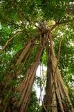 Riesiger Baum im Regenwald. Lizenzfreie Stockfotos