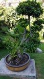 Riesiger Bonsaibaum in einem Park Stockbilder