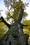 Riesiger Eichenbaum Stockbilder