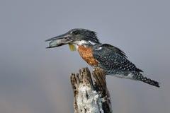 Riesiger Eisvogel, der einen Fisch auf einem Baumstumpf isst Lizenzfreie Stockfotos
