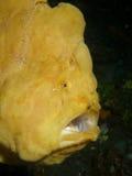 Riesiger Frogfish Lizenzfreie Stockfotografie