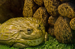 Riesiger Frosch Stockbild