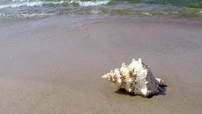 Riesiger Frosch Shell auf einem Strand stock video footage