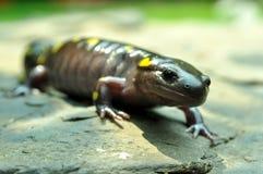 Riesiger gelber beschmutzter Salamander Lizenzfreie Stockfotografie