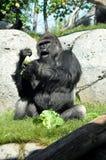 Riesiger Gorilla, der an San Diego-Zoo zu Mittag isst Stockbild