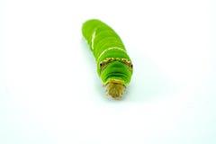 Riesiger grüner Wurm Stockfotografie