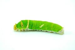 Riesiger grüner Wurm Lizenzfreies Stockbild