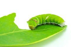 Riesiger grüner Wurm Lizenzfreie Stockfotografie