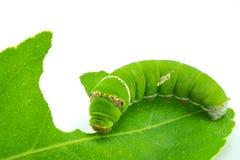 Riesiger grüner Wurm Stockbild
