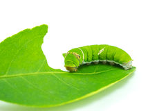 Riesiger grüner Wurm Stockfotos