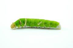 Riesiger grüner Wurmwurm Stockfoto