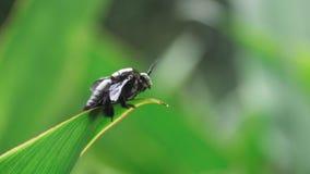 Riesiger Käfer auf des Blattes Abschluss oben Stockfotos
