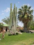 Riesiger Kaktus auf namibischem Bauernhof Stockbilder