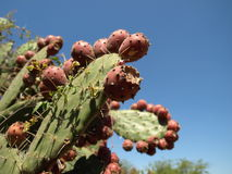 Riesiger Kaktus von Mexiko Lizenzfreie Stockfotos