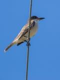 Riesiger Kingbird auf einem Draht Lizenzfreies Stockfoto