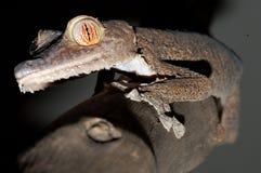 Riesiger leaftail Gecko, der einen Zweig steigt Stockfotografie