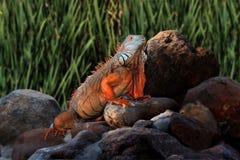 Riesiger Leguan auf Felsen Lizenzfreie Stockbilder