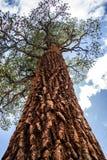 Riesiger Mammutbaum lizenzfreies stockbild