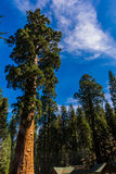 Riesiger Mammutbaum-Baum, riesiger Wald, Kalifornien USA Lizenzfreie Stockfotos