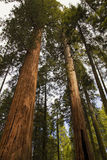 Riesiger Mammutbaum-Nationaldenkmal Lizenzfreie Stockfotos